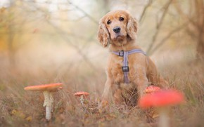 Picture dog, mushroom, doggie, puppy, nature, Amanita, blur, sadness, branches, leaves, glade, bokeh, sitting, grass, mushrooms, …