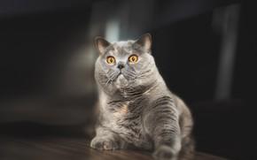 Picture cat, look, grey, British Shorthair