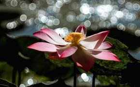 Picture flower, leaves, light, glare, the dark background, pink, Lotus, pond, bokeh