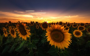 Picture field, summer, the sky, leaves, the sun, clouds, rays, sunflowers, landscape, sunset, flowers, beauty, the …