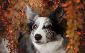 Picture autumn, look, face, leaves, branches, nature, background, foliage, portrait, dog, the border collie, spotted, motley