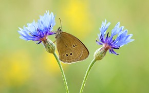 Picture summer, macro, flowers, background, butterfly, blue, insect, brown, cornflowers, cornflower