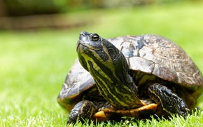 Picture grass, look, glade, turtle, portrait, water, bokeh, water turtle