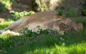 Picture nature, stay, lies, lioness