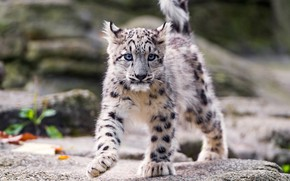 Picture snow leopard, cub, on the rocks