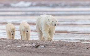 Picture water, Alaska, bears, polar bears, bear, cubs, polar bears