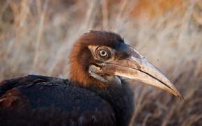 Picture nature, bird, Juvenile Ground Hornbill