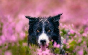 Picture field, flowers, nature, animal, dog, head, dog, the border collie