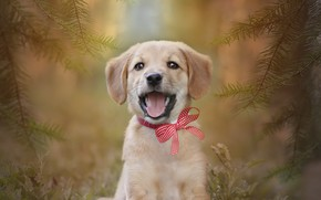 Picture background, each, spruce, puppy, bow