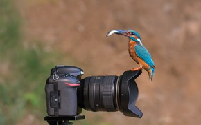 Picture bird, fish, Kingfisher