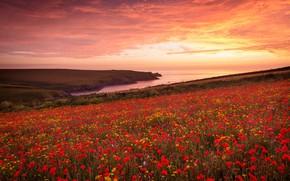 Picture summer, flowers, poppy field