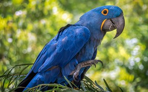 Picture bird, feathers, beak, parrot, hyacinth macaw