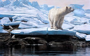 Picture winter, ice, polar bear, Terry Isaac