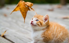 Picture autumn, cat, look, sheet, kitty, Board, leaf, baby, red, muzzle, leaf, kitty, sitting, falling leaves, …