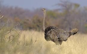 Picture bird, ostrich, bokeh, long neck, DUELL ©