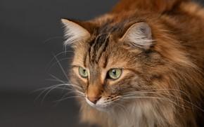 Picture cat, cat, look, background, muzzle, cat