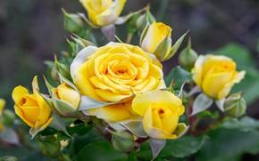 Picture macro, nature, Bush, roses, yellow, garden, buds