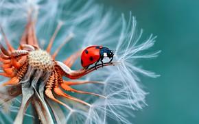 Wallpaper dandelion, ladybug, insect