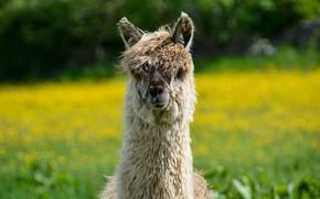 Picture summer, look, face, background, portrait, lawn, Lama, bangs
