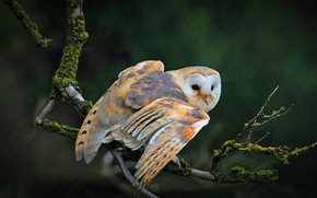 Picture owl, bird, branch, common barn owl