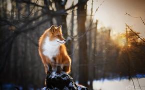 Picture winter, forest, nature, animal, Fox, Natalia Ponikarova