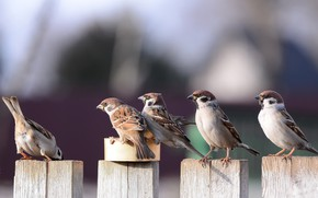 Picture birds, pack, sparrows, look, turn
