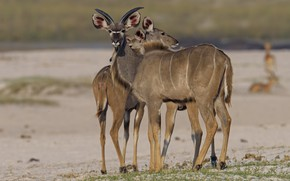 Picture animals, nature, antelope, DUELL ©