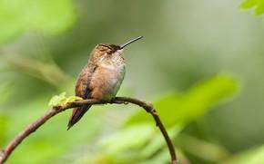 Picture branch, beak, Hummingbird, baby