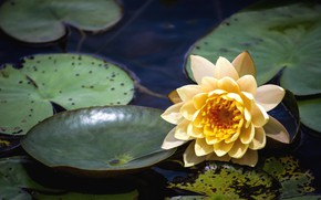 Picture flower, water, lake, water Lily
