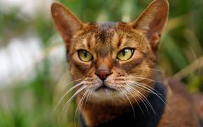 Picture cat, look, portrait, muzzle, Abyssinian cat