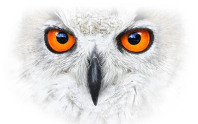 Picture background, bird, Eagle Owl