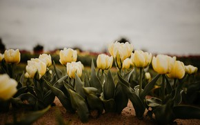 Picture the sky, flowers, spring, yellow, garden, tulips, flowerbed