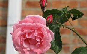 Picture flower, rose, Bud, 2018, Meduzanol ©