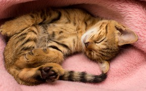 Picture cat, pose, comfort, kitty, background, pink, sleep, baby, sleeping, lies, plaid, kitty, striped, kitty