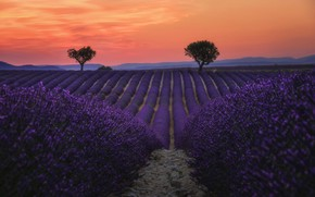 Picture field, the sky, trees, flowers, hills, France, the evening, the beds, a lot, orange, the ...
