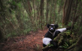 Picture forest, look, trees, lemur