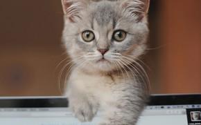 Picture look, muzzle, kitty, Bozhena Puchko