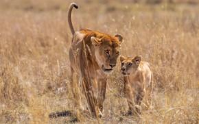 Picture nature, baby, pair, walk, lions, lioness, mom, lion, lion