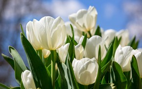 Wallpaper leaves, petals, tulips, white, buds