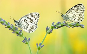 Picture macro, butterfly, flowers, insects, yellow, background, butterfly, two, pair, white, a couple, Duo, buds, lavender, …