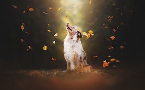 Picture leaves, dog, bokeh, Australian shepherd, Aussie