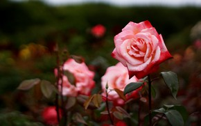 Picture leaves, flowers, branches, the dark background, rose, roses, garden, red, pink, bokeh