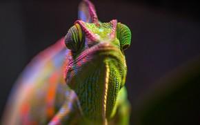 Picture Color, Lizard, Chameleon, Head, Reptile, Head, Reptile, Animals, Exotic, Animal, Lizard, Chameleon, Close-Up, Egor Kamelev, …