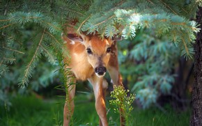 Picture forest, nature, Bambi