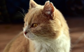 Picture muzzle, ears, red cat