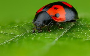 Picture macro, green, background, leaf, ladybug, beetle, spot, insect, red with black