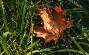 Picture autumn, grass, light, nature, leaf, red, bokeh, maple, autumn leaf