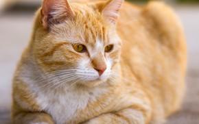 Picture cat, cat, face, portrait, red