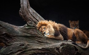 Picture face, pose, background, tree, stay, dark, Leo, lies, wild cats, lioness, zoo, laziness, tired