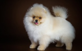 Picture look, dog, fluffy, cute, Spitz